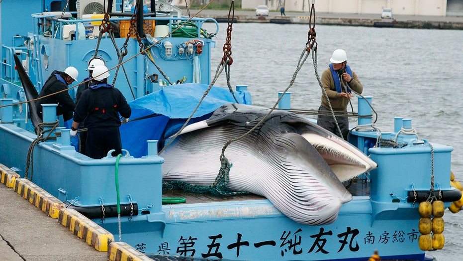Japan resumes commercial whaling after 30 years -- despite low