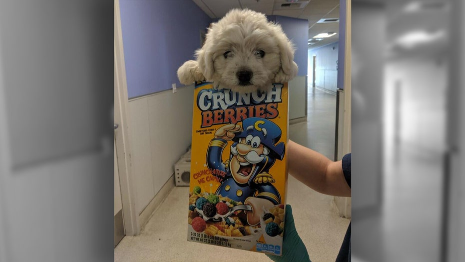 Dog dropped off at California animal shelter in cereal box, infested