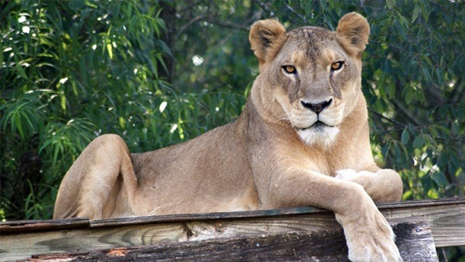 North Carolina lion dies during heat wave, wild cat