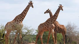 Wildlife committee votes to protect giraffes as endangered species for the first time