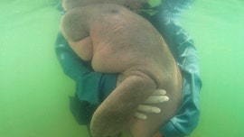 Thailand's beloved lost baby dugong dies with plastic in stomach, vets say