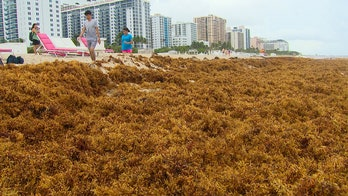 South Florida, in effort to save tourism industry, may spend millions to remove seaweed invading beaches