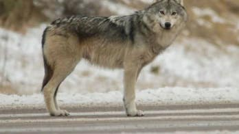 Good Samaritan saves New Jersey family from wolf attack during camping trip in Canada
