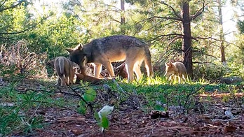 California's last wild wolf pack spotted with 3 new pups