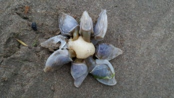 Mysterious sea creature spotted on beach draws 'Alien' comparison: 'Fascinating!'