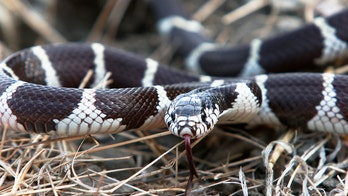 Hungry Pennsylvania snake rescued after swallowing 'almost half' of own body, video shows