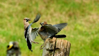 Jaybirds caught fighting over lunch in stunning pics