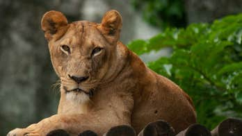 'Lion Man' mauled to death by his captive big cats; animals shot to death