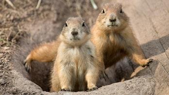Plague kills off Colorado prairie dog colony, state officials say
