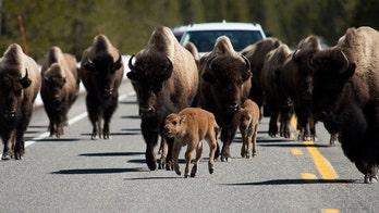 Video captures Yellowstone bison ramming rental car during stampede