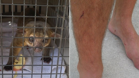 Kinkajou barges into Florida woman's apartment, attacks her boyfriend, officials say