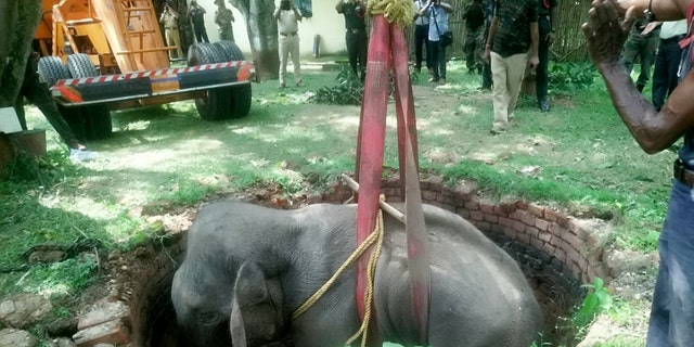 This is the heartwarming moment an elephant is saved from the bottom of a 20ft well by rescuers using a crane. (Credit: SWNS)