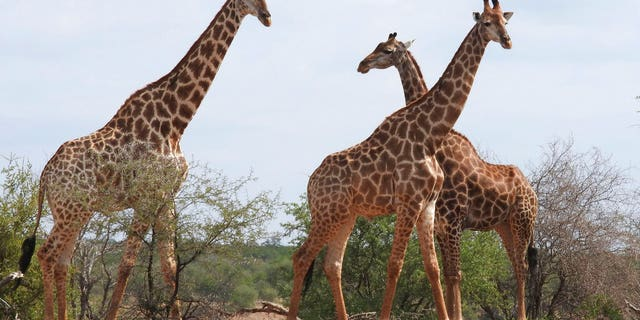 Giraffes in Kriger National Park, South Africa. A wildlife panel moved to protect giraffes as an endangered species Thursday.
