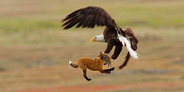 The photo shows a bald eagle and a red fox fighting in midair over a rabbit in San Juan Island National Historical Park in Washington state.