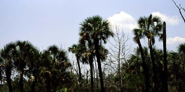 Florida's official state tree is the tall, broad-leafed sabal palm, seen here, were damaged in a fire.