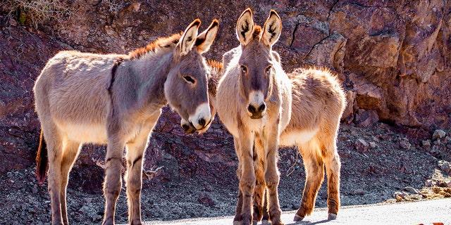 Westlake Legal Group Burro-Killings Killings of wild burros in California's Mojave Desert prompt $50G reward for information Robert Gearty fox-news/us/us-regions/west/california fox news fnc/us fnc b61ec4d8-9cf9-520a-873a-680b2b04c249 article