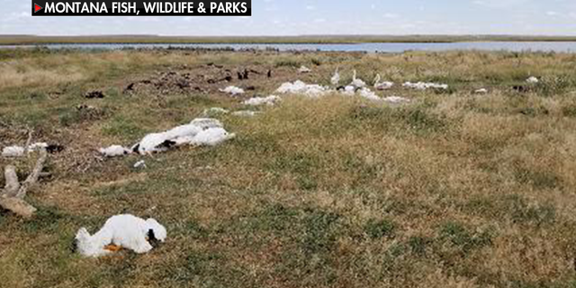 Twenty to thirty percent of the entire bird population at the Big Lake Wildlife Management Area west of Molt, Montana were killed in last week's hailstorm, officials said.
