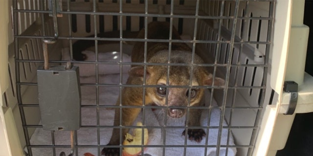 A kinkajou ran into a Florida apartment and attacked a man who had opened the front door to leave to work, according to officials.
