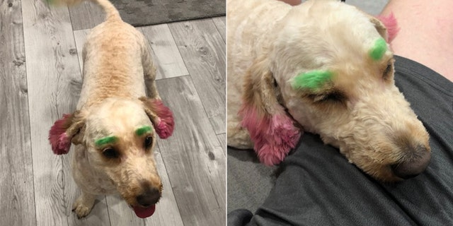 Graziella Puleo said her goldendoodle, Lola, came back from the groomer with neon green eyebrows and ears.