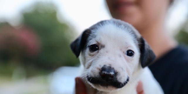 Salvador Dolly and her litter will be taken to NYC toward the end of August or early September to be adopted.