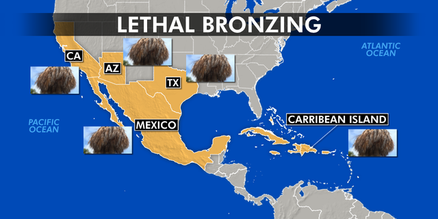 Researchers say lethal bronzing likely originated in Mexico. The disease is also found in parts of Texas and throughout the Caribbean. There is also concern it will spread to Arizona and California.