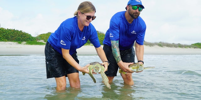 Members of the SeaWorld rescue team returning rescued sea turtles to the ocean. (Bethany Bagley/SeaWorld Orlando)