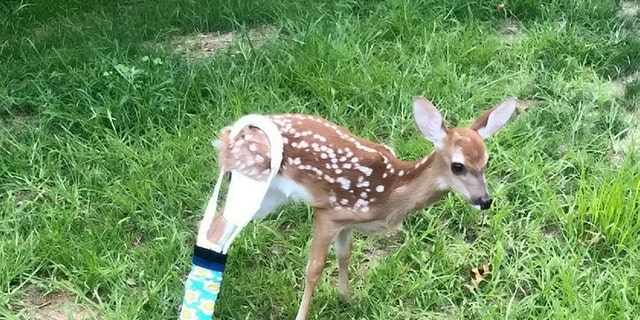 Rescuers believe the beautiful fawn was separated from her mother and hit by a car which snapped her right back leg just below the hip bone.  (Credit: SWNS)