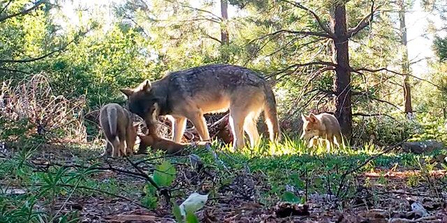 Amaroq Weiss, who advocates for West Coast wolves with the Center for Biological Diversity, says that the return of wolves to the state is an important development for conservation efforts. (California Department of Fish and Wildlife via AP)