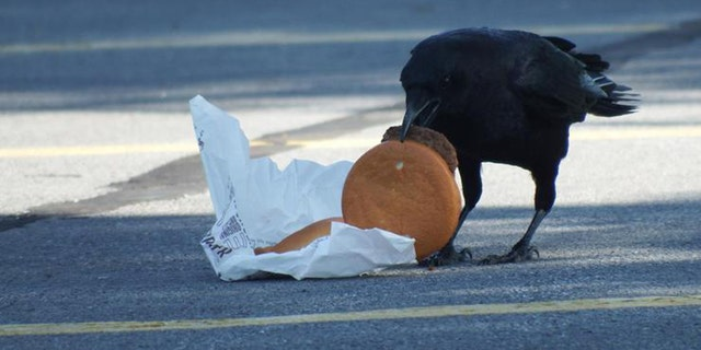 Crow feasts on a discarded burger.