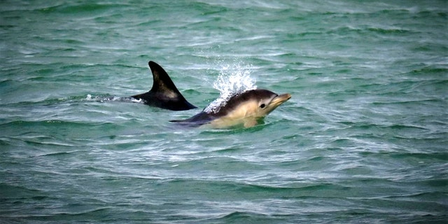 A Short Beaked Common Dolphin newborn calf spotted off the coast of Labrador Bay,Teignmouth, South Devon, Aug. 1 2019. (Credit: SWNS)