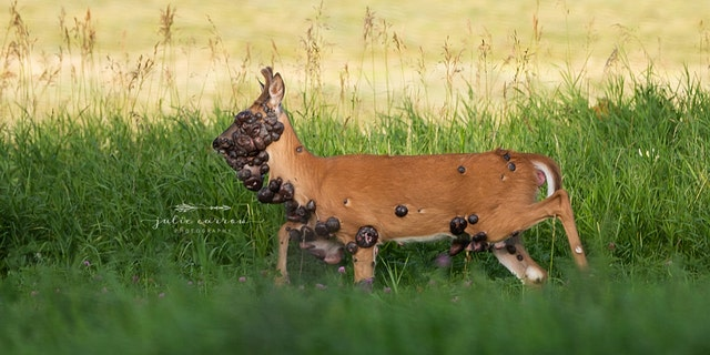 The tumor-covered deer is suffering from fibromatosis.
