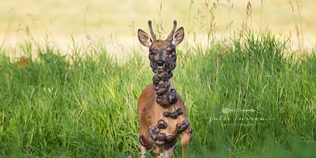 The deer was photographed in southwestern Minnesota.