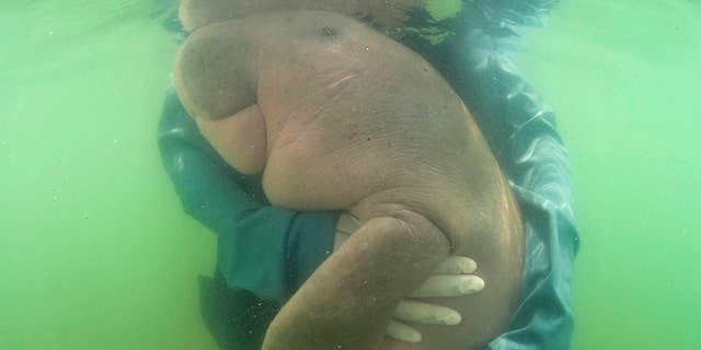 "An official of the Department of Marine and Coastal Resources, hugs in May ""Mariam,"" a baby dugong lost from her mom in southern Thailand. The 8-month-old dugong nurtured by marine experts after it was found has died with plast in her stomach.(Sirachai Arunrugstichai via AP.)"