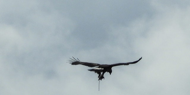 A golden eagle was recently speckled drifting with a trap on a leg. (SWNS)