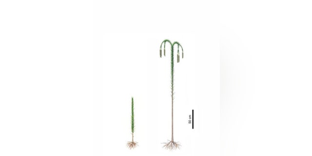 Reconstructions of lycopsid trees (Guangdedendron micrum). Left: juvenile plant. Right: adult plant. CREDIT Zhenzhen Deng