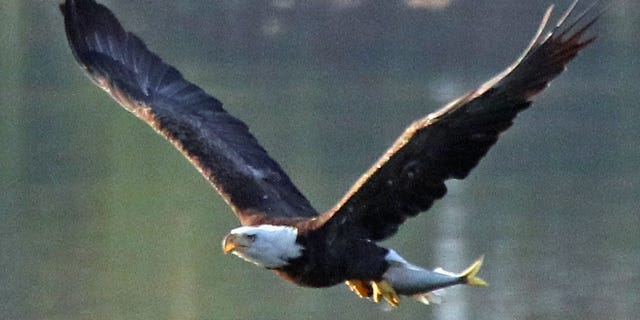 An American bald eagle carries a freshly caught fish at Mill Pond on Aug. 10, 2018 in Centerport, New York. (Photo by Bruce Bennett/Getty Images)