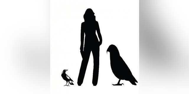 Graphic showing the Heracles inexpectatus silhouette next to an average height person and common magpie. (Credit: Professor Paul Scofield, Canterbury Museum)
