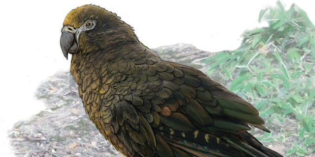 Reconstruction of the giant parrot Heracles, dwarfing a bevy of 8cm high Kuiornis -- small New Zealand wrens scuttling about on the forest floor. (Credit: Dr. Brian Choo, Flinders University)