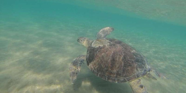 Green turtle swimming off Cyprus. (Credit: Emily Duncan)