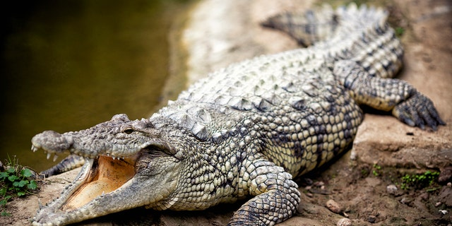 An Australian fisherman recently brought a 5-foot crocodile (not pictured) home, before he called wildlife officials to remove the reptile from his house, according to authorities. (iStock)