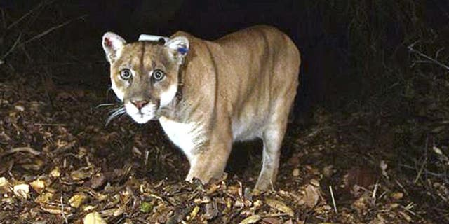 The mountain lion known as P-22 is seen in Griffith Park near downtown Los Angeles.