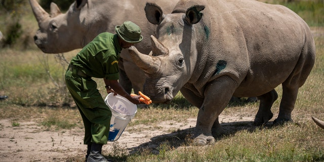 "Female northern white rhinos Fatu, 19, right, and Najin, 30, left, the last two northern white rhinos on the planet, are fed some carrots by a ranger in their enclosure at Ol Pejeta Conservancy, Kenya Friday, Aug. 23, 2019. Scientists have invented a technique for constructing a fake rhino horn they hope will put a dent in the illegal horn market threatening the survival of the species.<br data-cke-eol=""1"">