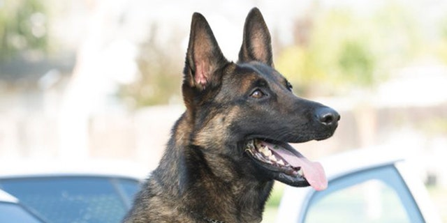 Ozzy, a K-9 with the Long Beach Police Department in California, was found dead after being left unattended in a hot car ten days ago.