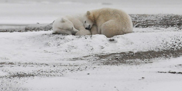 Polar bears sleep on the beach in the Arctic National Wildlife Refuge in early September waiting for the ice to form on the Arctic Ocean. (Credi: Michael Miller)