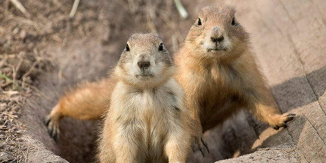Prairie dogs were on private property.