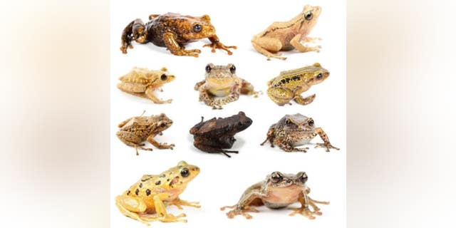 The rain frogs comprise a unique group lacking a tadpole stage of development. Their eggs are laid on land and hatch as tiny froglets.