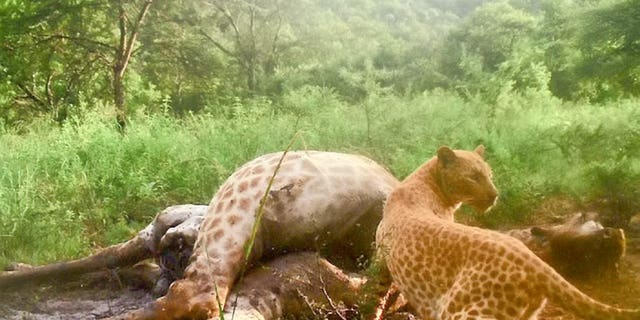 The leopard was spotted in late July.