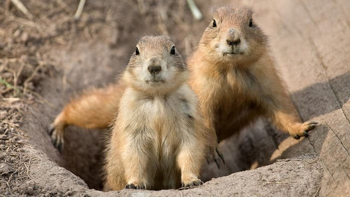 Plague-infected prairie dogs in Colorado pose health risk to humans, areas of wildlife refuge remain closed
