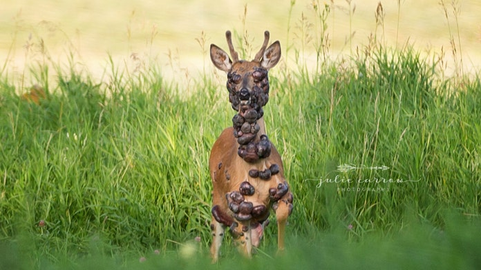 Deer covered in tumors caught on camera
