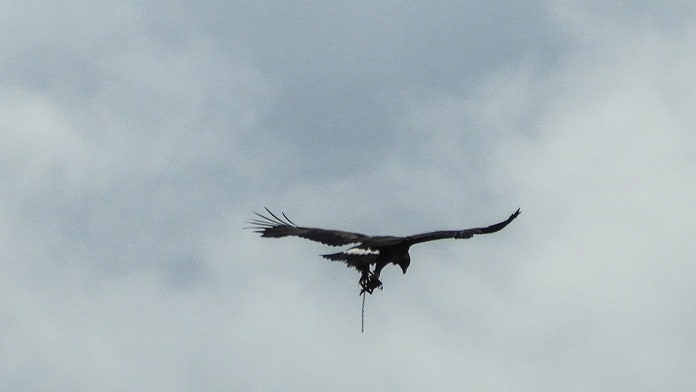 Golden eagle spotted flying in Scotland with trap attached to leg